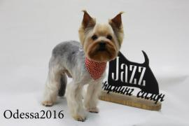 Haircut York. Grooming a Yorkshire Terrier. Odessa