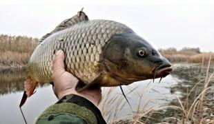 Live marketable fish: carp (mirror) carp, silver carp