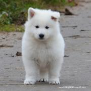 Long-haired puppy of White Swiss Shepherd dog