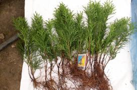Sell rooted cuttings for growing