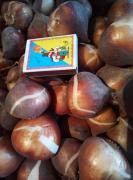 Selling red tulip bulbs